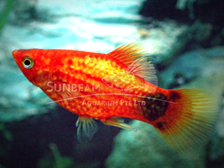 red moon neon platy