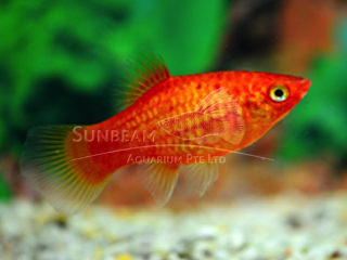 neon red platy