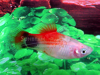 red top moon platy
