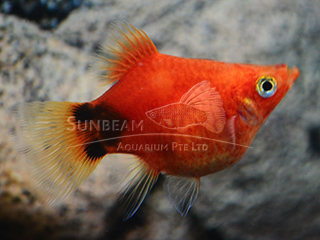 red balloon moon platy