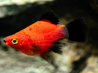 red balloon wagtail platy