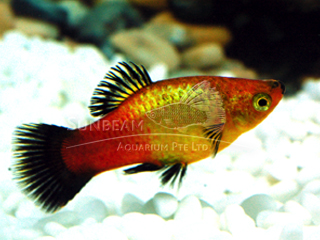 red wagtail neon platy