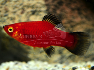 red wagtail platy