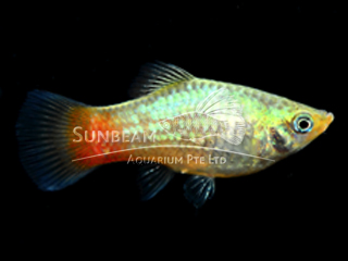 blue coral platy