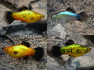 assorted neon wagtail platy