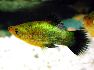 green calico neon platy