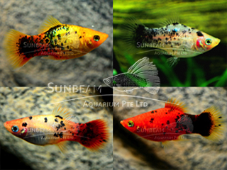 assorted calico platy