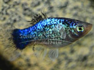 blue calico platy