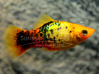 sunset calico platy