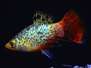 blue coral calico platy