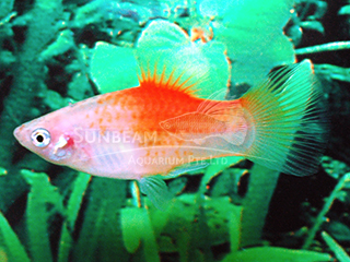 red top yellow platy