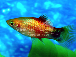 golden moon neon platy