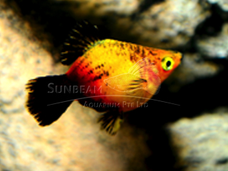 gold wagtail balloon platy
