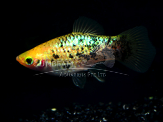 golden calico platy