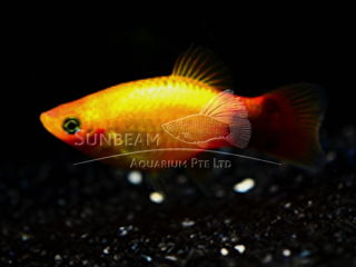sunset moon neon platy