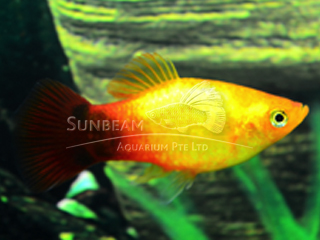 sunset moon platy