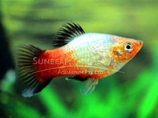 sunset rainbow platy