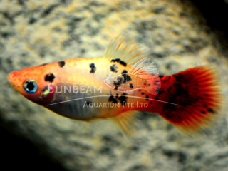 sunburst calico platy