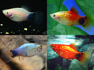 assorted moon platy