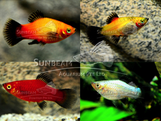 assorted wagtail platy