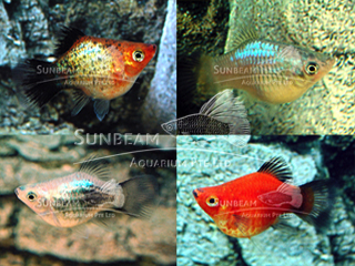 assorted balloon platy