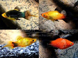 assorted swordtail platy