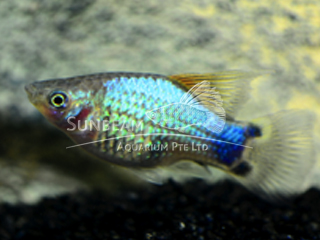 blue hi-fin platy