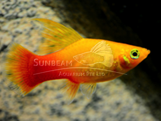 sunset hi-fin platy