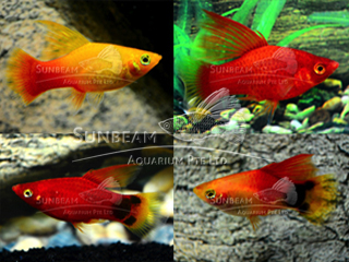 assorted hi-fin platy