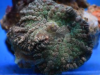 green giant mushroom