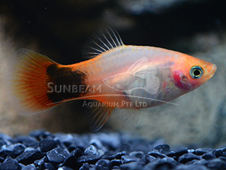 sunburst mickey mouse platy
