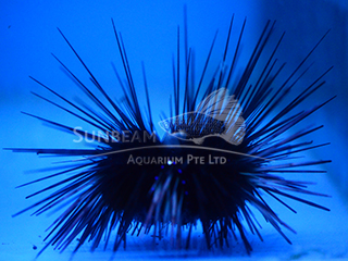 long spines sea urchin