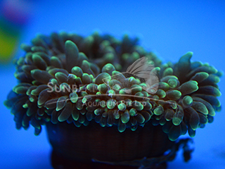 Luminus Green Carpet Anemone