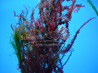 red grape algae plant