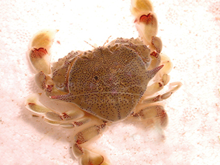 blue-spotted swimmer crab