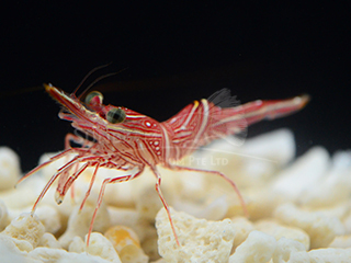 camel shrimp