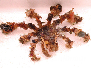 decorated (spider) crab