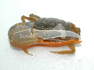 fiddler (one arm) crab