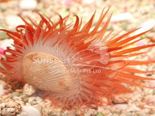 Red Flame Scallop