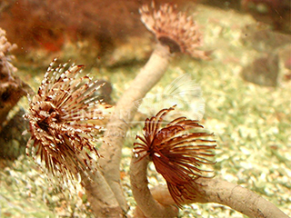 red/white tube worm