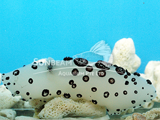Black Spotted Sea Slug