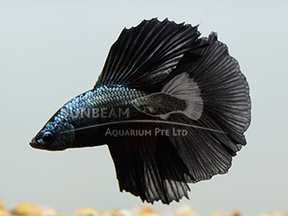 Black HM Betta