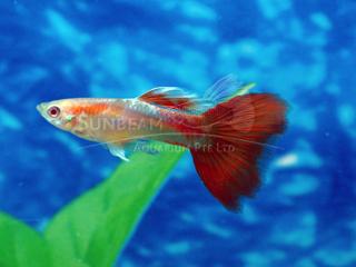 albino red eye guppy