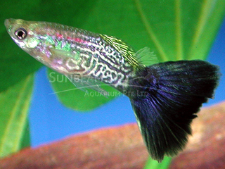 blue snakeskin guppy