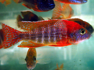 Peacock Red Cichlid