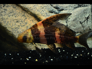 Tiger Hi-fin Loach