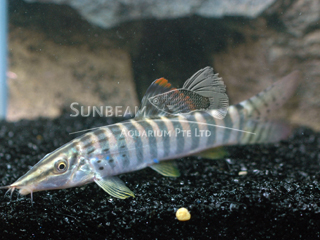 Spotted Banded Loach
