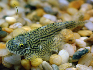 Gold Ring Butterfly Loach