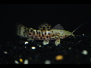 Port Hoplo Catfish