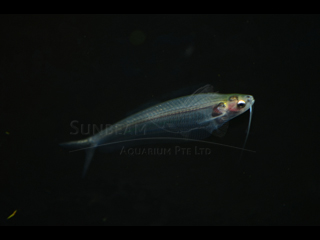 Thailand glass Catfish